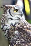 Great Horned Owl Profile Royalty Free Stock Photos
