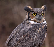 Great Horned Owl Profile Stock Image