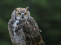 Great Horned Owl Profile Stock Photography