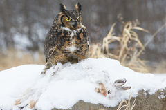 Great horned owl with rabbit kill. Great horned owl with snow shoe rabbit kill Stock Photo
