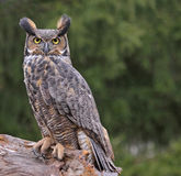Great Horned Owl in the Rain Stock Image
