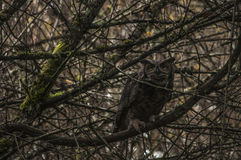 Great Horned Owl in tree Stock Photos