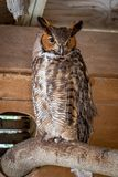 A Great Horned Owl. A rescued Great Horned Owl in an animal sanctuary stock images