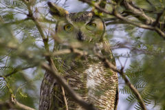 Great Horned Owl. A Great Horned Owl resting in a tree in Tucson, Arizona Royalty Free Stock Photography