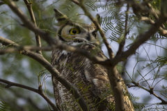 Great Horned Owl. A Great Horned Owl resting in a tree in Tucson, Arizona Stock Photos