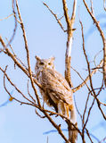 Great Horned Owl. This Great Horned Owl rests in a tree against a blue sky backdrop Royalty Free Stock Image