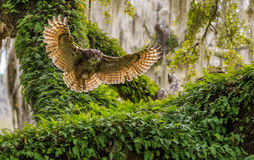 Great Horned Owl. A Great Horned Owl returning to her to continue incubation of her eggs royalty free stock photos