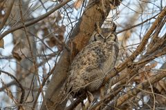 Great horned owl sleeping in a tree. Great horned owl roosting in a tree in the autumn royalty free stock images