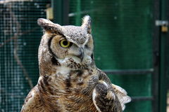 Great horned owl's intense stare Stock Photos