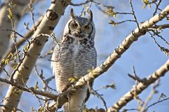 Great Horned Owl Saskatchewan Royalty Free Stock Photos