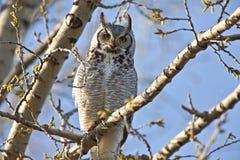 Great Horned Owl Saskatchewan. Tree perched Royalty Free Stock Photos