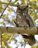 Great Horned Owl on a shady branch Stock Images
