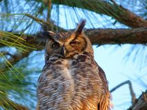 The Great Horned Owl Stock Photography