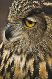 Great Horned Owl Side View Royalty Free Stock Images
