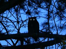 Great Horned Owl silhouette perched on Pine branches and eyes glowing. Stock Photography