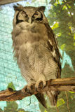 Great horned owl sits in shade Royalty Free Stock Photography