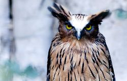 Great Horned Owl. Sits and stares into the camera Stock Photos