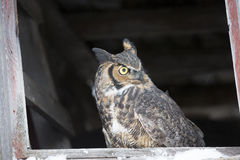 Great horned owl sitting in barn. Great horned Owl perched in bard window Stock Image
