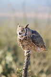 Great-horned Owl Sitting on a Cactus. Great-horned Owl Sitting on a dead Cactus Royalty Free Stock Photography