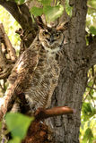 Great horned owl sitting on cottonwood tree branch Stock Photography