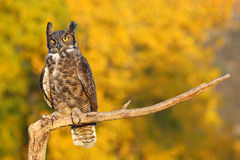 Great horned owl sitting on a stick Royalty Free Stock Images