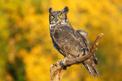 Great horned owl sitting on a stick Royalty Free Stock Photos