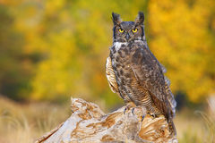 Great horned owl sitting on a stump Stock Photography