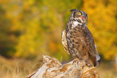 Great horned owl sitting on a stump Stock Images