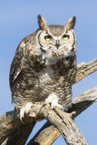 Great horned Owl. Sitting on tree branch royalty free stock images