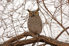 Great Horned Owl sitting on a tree in Nevada. Wild Great Horned Owl sitting on a tree in Nevada, USA stock photos