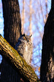 Great horned owl sleeping Stock Photo