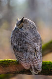 Great horned owl sleeping Royalty Free Stock Photography
