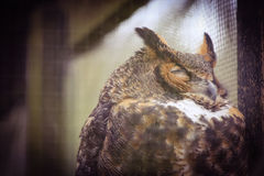 Great Horned Owl. A great horned owl sleeping Royalty Free Stock Photography