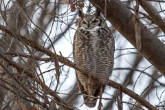 Great horned owl sleeping in a tree. Great horned owl roosting in a tree in the autumn Royalty Free Stock Photo