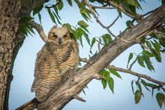 Great Horned Owl. A small Horned owl posing for his picture while in a tree Stock Image