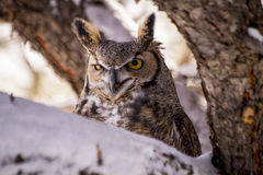 Great Horned Owl in Snow Covered Tree Stock Image