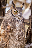 Great Horned Owl in Snow Covered Tree. Close up of great horned owl sitting in snow covered pine tree on cold winter morning stock images