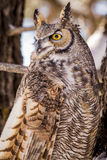 Great Horned Owl in Snow Covered Tree. Close up of great horned owl sitting in snow covered pine tree on cold winter morning stock photos