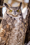 Great Horned Owl in Snow Covered Tree. Close up of great horned owl sitting in snow covered pine tree on cold winter morning stock photo
