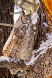 Great Horned Owl in Snow Covered Tree. Profile of great horned owl sitting in snow covered pine tree on cold winter morning stock images