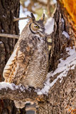 Great Horned Owl in Snow Covered Tree. Profile of great horned owl sitting in snow covered pine tree on cold winter morning stock photos