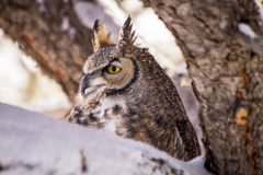 Great Horned Owl in Snow Covered Tree. Great horned owl sitting in snow covered pine tree on cold winter morning royalty free stock photo