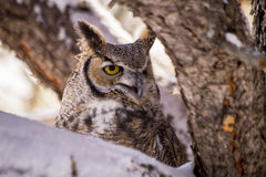Great Horned Owl in Snow Covered Tree. Great horned owl sitting in snow covered pine tree on cold winter morning royalty free stock image
