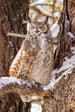 Great Horned Owl in Snow Covered Tree Royalty Free Stock Image