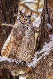 Great Horned Owl in Snow Covered Tree Royalty Free Stock Photo