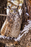 Great Horned Owl in Snow Covered Tree. Great horned owl sitting in snow covered pine tree on cold winter morning royalty free stock photos