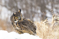Great horned owl in snow Stock Photography