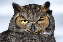 Great Horned Owl in Snow in the Winter. Close-up of a Great Horned Owl in New England in the snow stock photography