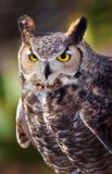 Great Horned Owl in Sonoran Desert Daytime Close up. Great Horned Owl with Talons and Yellow Eyes royalty free stock images