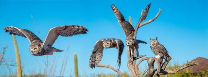Great Horned Owl in Sonoran Desert Daytime Flying Sequence. Great Horned Owl with Talons and Yellow Eyes royalty free stock photos